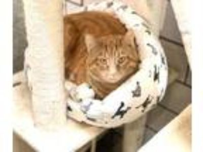 Adopt Orangie a Domestic Short Hair