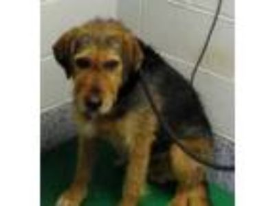 Adopt Cogsworth a Red/Golden/Orange/Chestnut Airedale Terrier / Mixed dog in