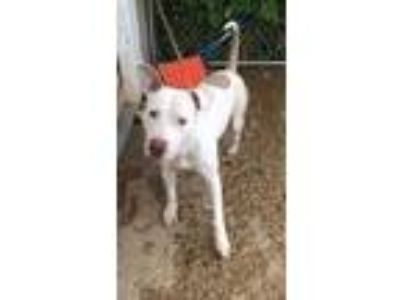 Adopt Hooch a White American Pit Bull Terrier / Mixed dog in Owosso