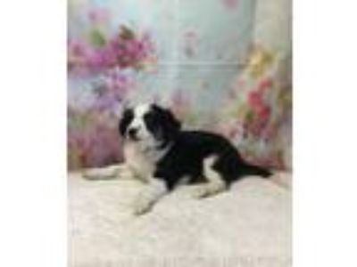 Adopt POPPY a Collie, Mixed Breed