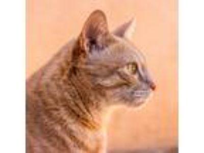 Adopt Bodhi a Orange or Red Tabby Domestic Mediumhair cat in Los Angeles