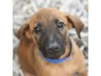 Adopt Red a Shepherd, Mixed Breed