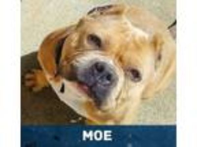 Adopt Monique aka Moe a Pit Bull Terrier