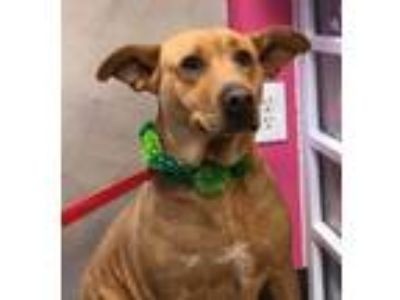 Adopt Ginjer a Brown/Chocolate Labrador Retriever dog in Gilbertsville