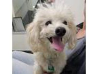 Adopt Saber 26308-d a White Poodle (Standard) / Mixed dog in Ithaca