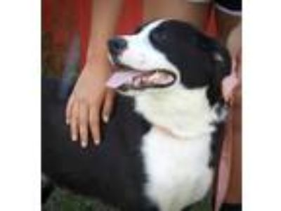 Adopt Joker a Border Collie, Mixed Breed