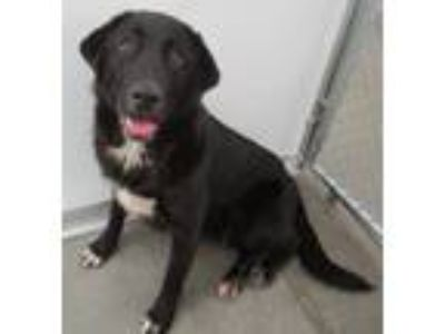 Adopt Toby a Black - with White Great Pyrenees / Labrador Retriever / Mixed dog