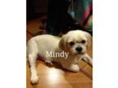 Adopt Mindy a Tan/Yellow/Fawn Lhasa Apso / Mixed dog in Palm Bay, FL (25885420)