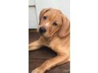 Craigslist - Dogs for Adoption Classifieds in Ft Mill, South