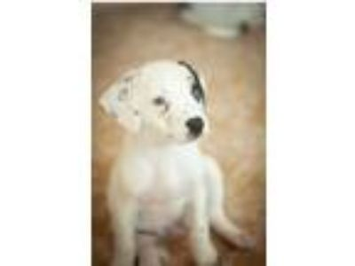 Adopt Stone Rico a White - with Black Labrador Retriever / Corgi / Mixed dog in