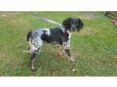 Adopt Lizzy a Black - with White English Setter / Mixed dog in woolwich
