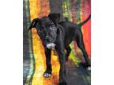 Adopt Mickey' a Terrier (Unknown Type, Small) / Labrador Retriever / Mixed dog