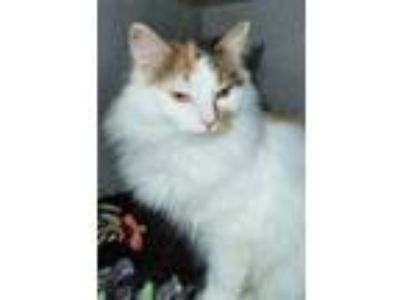 Adopt STRAY a White Domestic Longhair / Domestic Shorthair / Mixed cat in