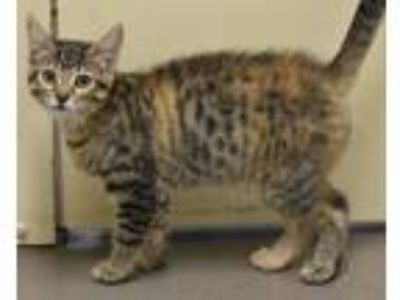 Adopt Aristocats: Marie a American Shorthair