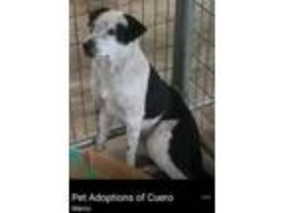Adopt Marco a Border Collie, Cattle Dog