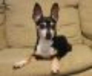 Queenie Miniature Pinscher Dog