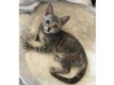 Adopt Ashley a Gray or Blue (Mostly) Domestic Shorthair / Mixed (short coat) cat