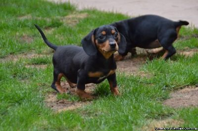 Dachshund Puppies available now