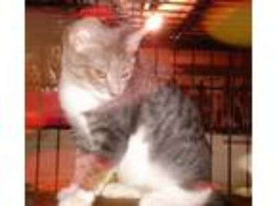 Adopt Dee Dee a Gray, Blue or Silver Tabby Domestic Shorthair (short coat) cat