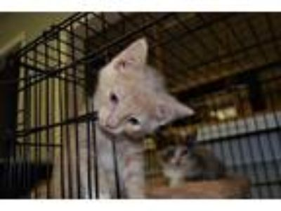 Adopt Simba a Cream or Ivory (Mostly) Domestic Shorthair / Mixed (short coat)