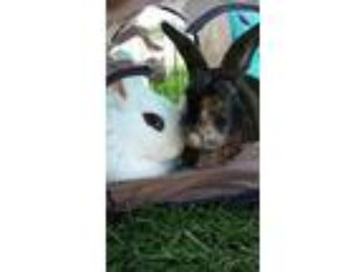 Adopt Hank (bonded to Annabelle) a Bunny Rabbit