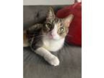 Adopt Bali a Gray, Blue or Silver Tabby American Shorthair cat in Miami