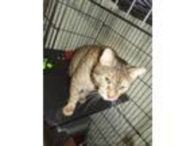 Adopt SARAH a Brown Tabby Domestic Shorthair (short coat) cat in Suffolk County