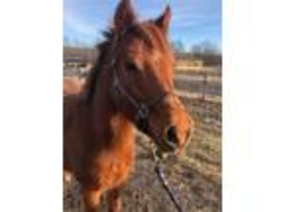 Adopt Cricket a Pony - Other / Mixed horse in Quakertown, PA (19506183)