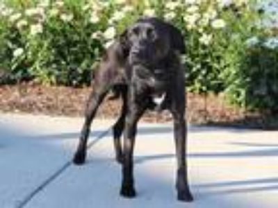Adopt CLARABELLE a Black - with White Labrador Retriever / Mixed dog in Maryland