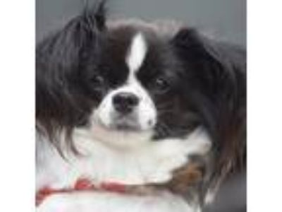 Adopt Wendy a Black - with White Papillon / Mixed dog in Huntley, IL (25563772)
