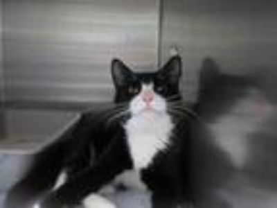 Adopt Mario a All Black Domestic Shorthair / Domestic Shorthair / Mixed cat in