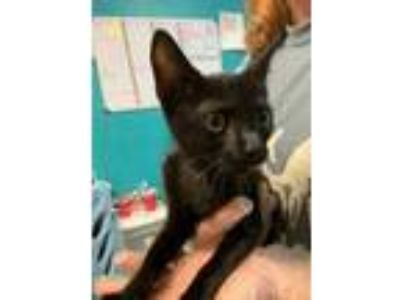 Adopt Finland a All Black Domestic Shorthair / Domestic Shorthair / Mixed cat in