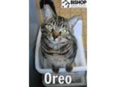 Adopt Oreo a Domestic Short Hair