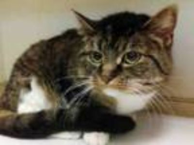 Adopt NOVA a Domestic Short Hair
