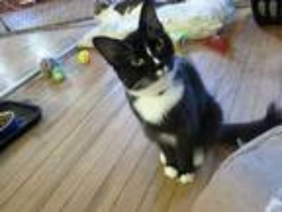 Adopt CLAIRE a Black & White or Tuxedo Domestic Shorthair (short coat) cat in