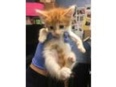 Adopt Pablo a Orange or Red Domestic Shorthair / Domestic Shorthair / Mixed cat