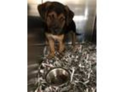 Adopt Bugster a Hound, Mixed Breed