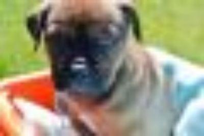 Agent Callen German Shepherd Dog - Mastiff Dog