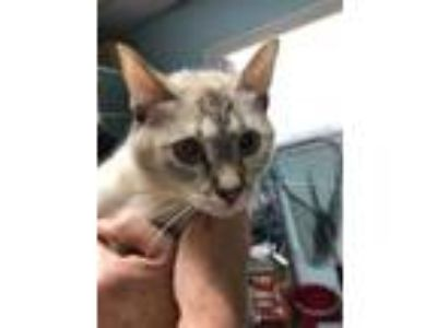 Adopt Black Widow a Cream or Ivory Siamese / Domestic Shorthair / Mixed cat in