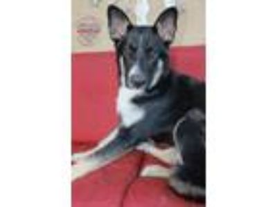Adopt Major a German Shepherd Dog, Bernese Mountain Dog