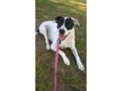 Adopt Honey a Black - with White Border Collie / American Pit Bull Terrier /