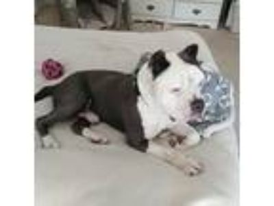 Adopt Booko a Black - with White American Staffordshire Terrier / Mixed dog in