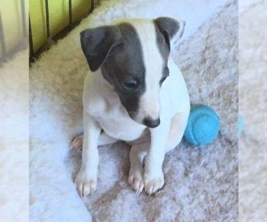 Italian Greyhound PUPPY FOR SALE ADN-124423 - Italian Greyhound Puppies