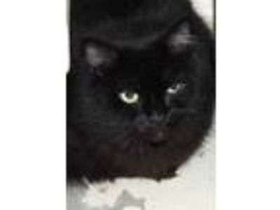 Adopt Zoe aka Pansy a All Black Domestic Longhair / Domestic Shorthair / Mixed