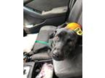 Adopt Queenie a Black Labrador Retriever / Mixed dog in Atlanta, GA (25882314)