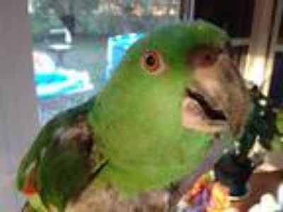 Adopt Volker a Green Amazon bird in Tampa, FL (21112865)