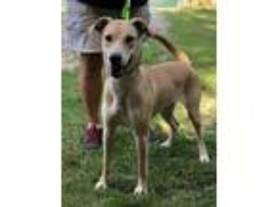 Adopt Fanta a Labrador Retriever / Shepherd (Unknown Type) / Mixed dog in