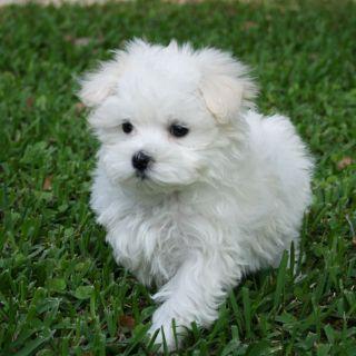 Maltese PUPPY FOR SALE ADN-75569 - Maltese Female puppy