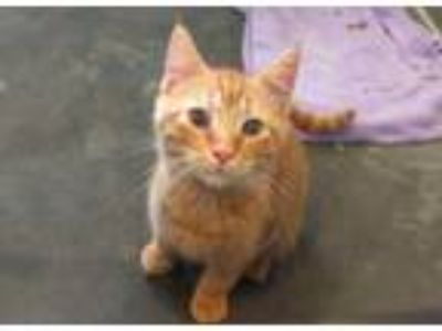 Adopt BLAZE a Orange or Red Tabby Domestic Shorthair / Mixed (short coat) cat in