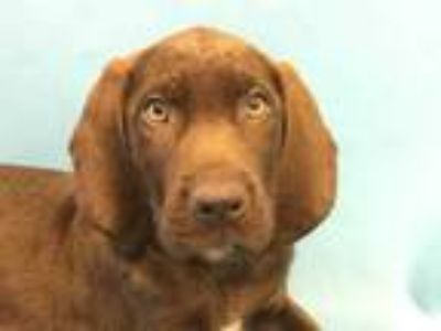 Adopt Jeggs a Brown/Chocolate Labrador Retriever / Mixed dog in St.
